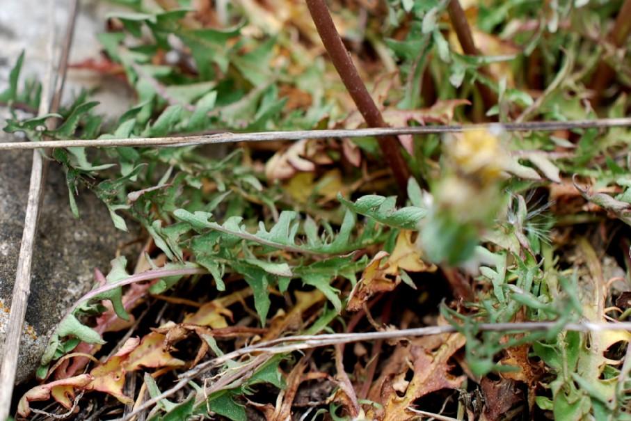 Taraxacum laevigatum 13