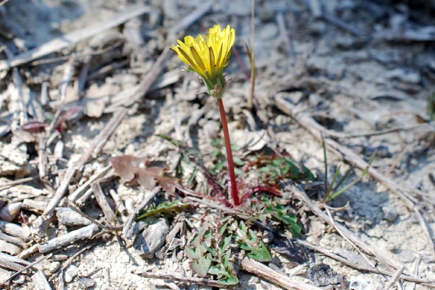 Taraxacum laevigatum 19