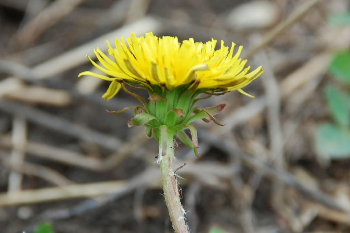 Taraxacum laevigatum 5