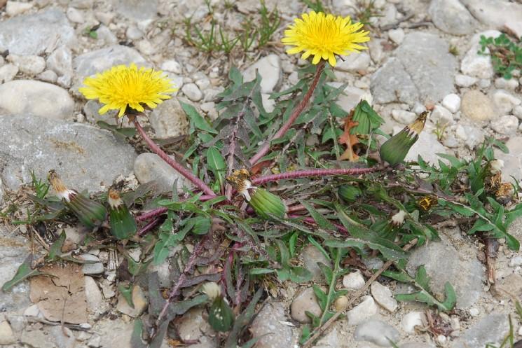 Taraxacum laevigatum 8