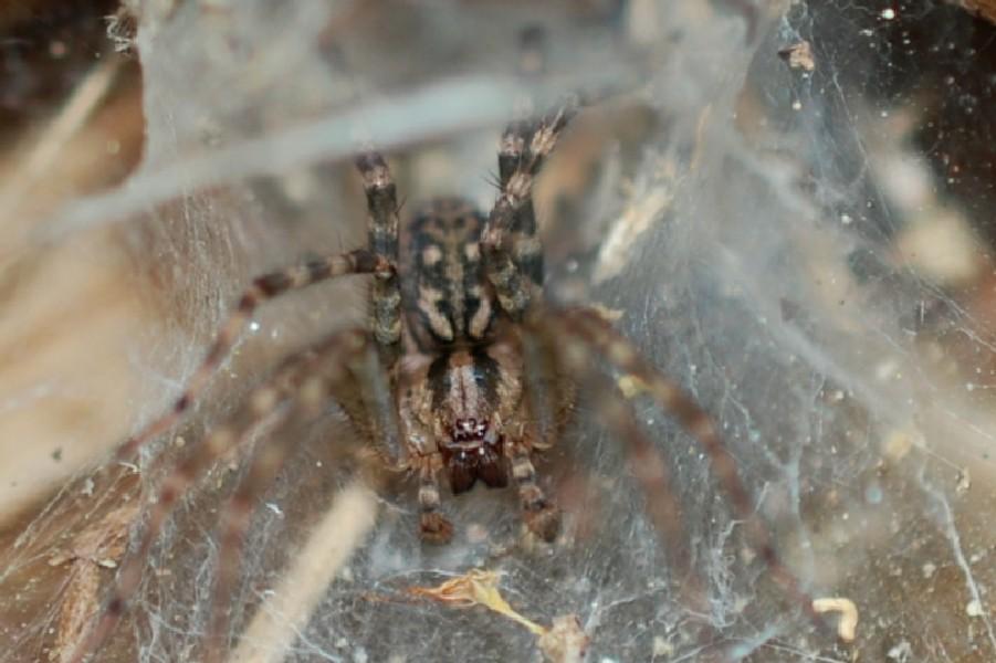 Tegenaria sp. - Agelenidae
