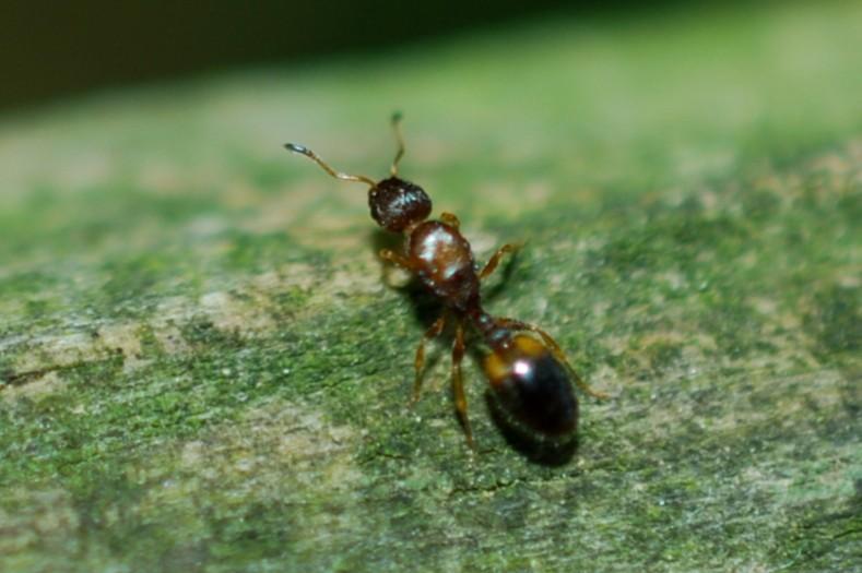 Temnothorax sp. - Formicidae