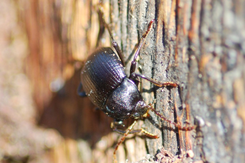 Tenebrioidae