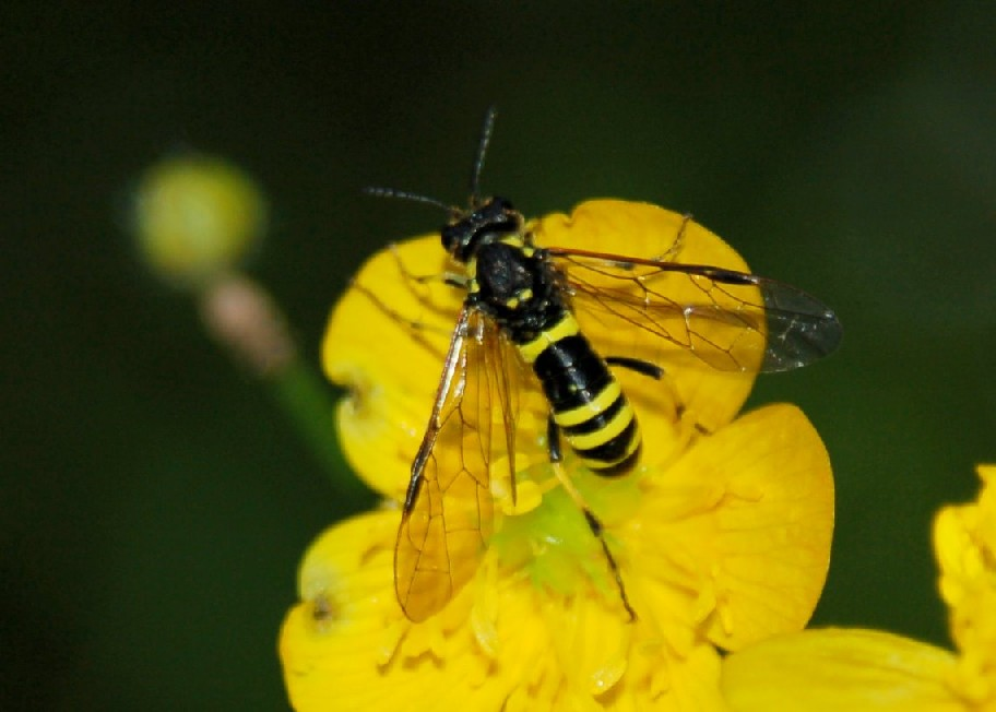 Tenthredo sp. 1 - Tenthredinidae