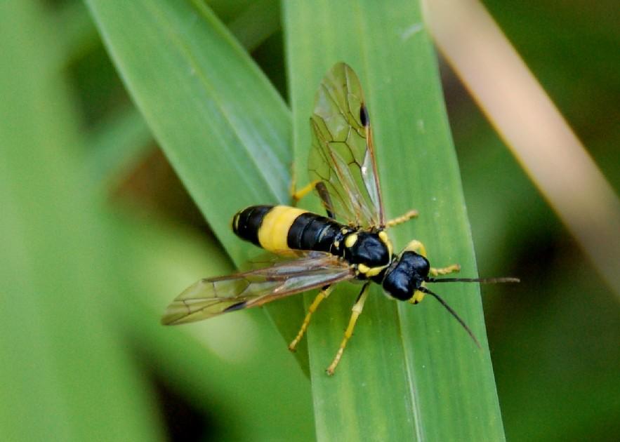 Tenthredo sp. 2 - Tenthredinidae