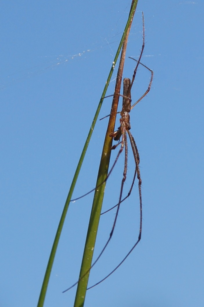 Tetragnatha sp. 2 - Tetragnathidae