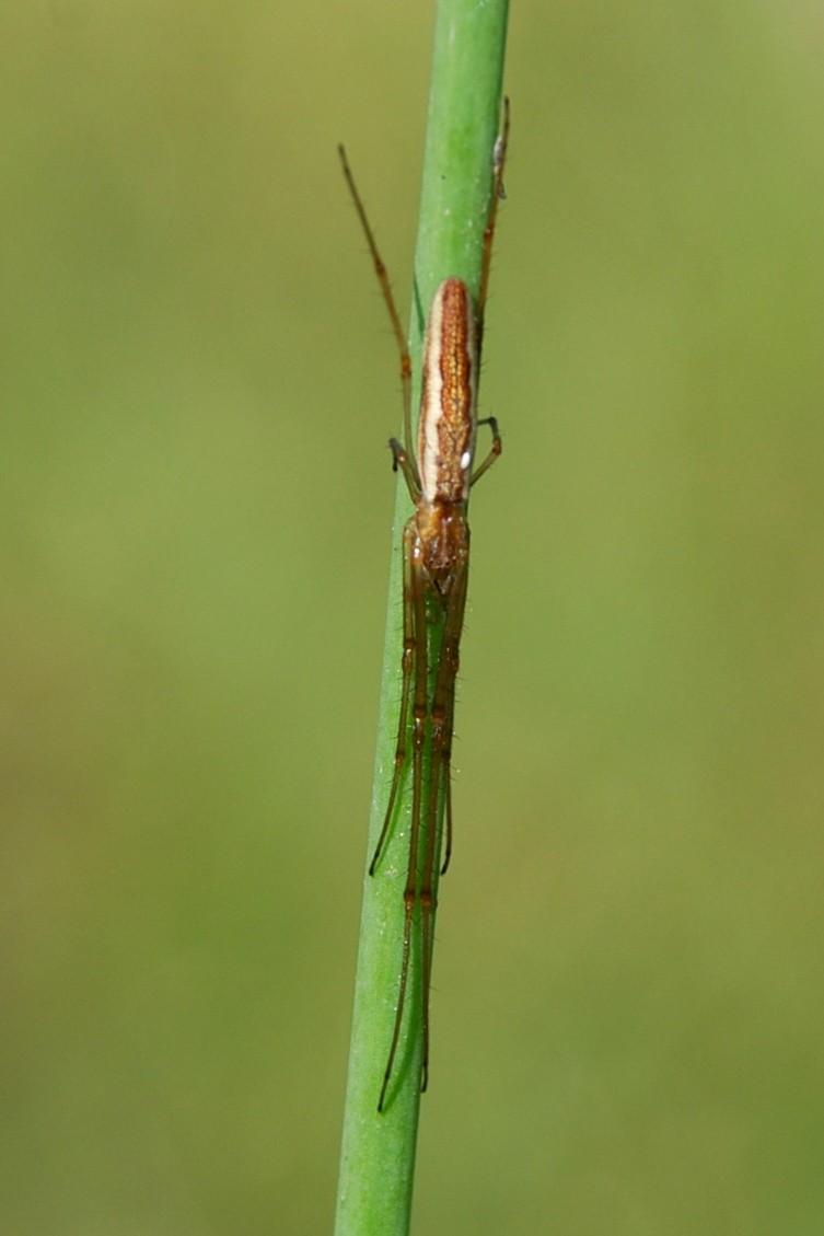 Tetragnatha sp. - Tetragnathidae