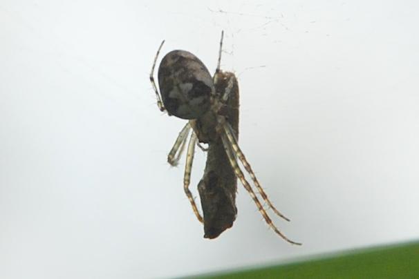 Tetragnathidae