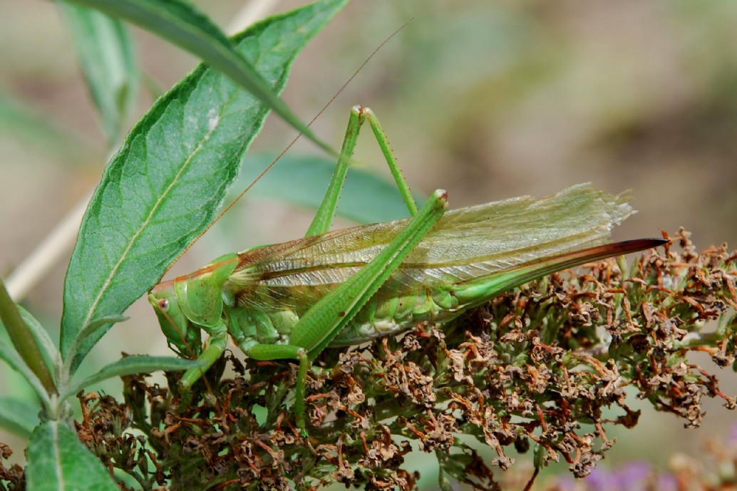 Tettigonia viridissima - Tettigoniidae