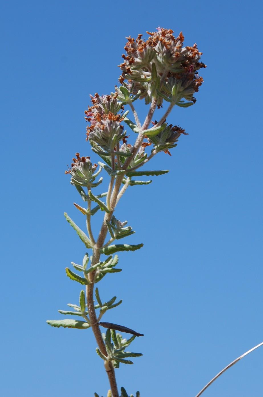 Teucrium capitatum subsp. capitatum 10