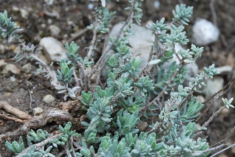 Teucrium capitatum subsp. capitatum 12