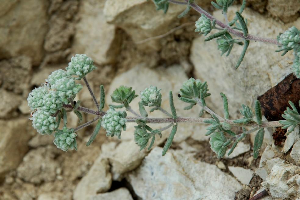 Teucrium capitatum subsp. capitatum 13
