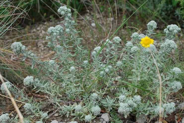 Teucrium capitatum subsp. capitatum 14