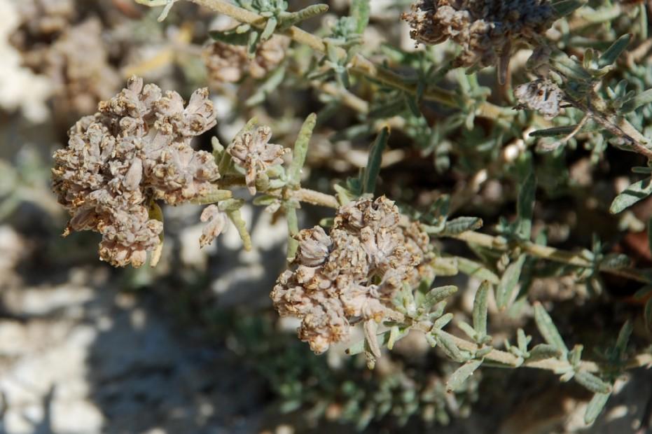 Teucrium capitatum subsp. capitatum 16