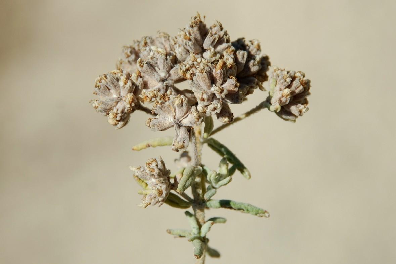 Teucrium capitatum subsp. capitatum 17
