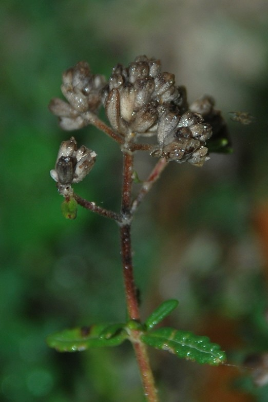 Teucrium capitatum subsp. capitatum 4