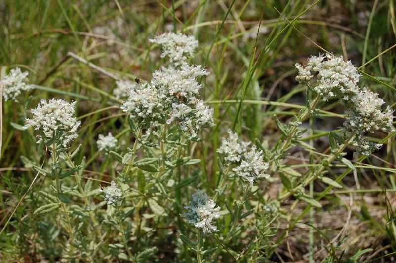Teucrium capitatum subsp. capitatum