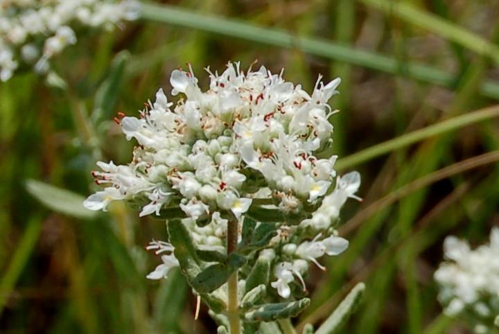 Teucrium capitatum subsp. capitatum 6