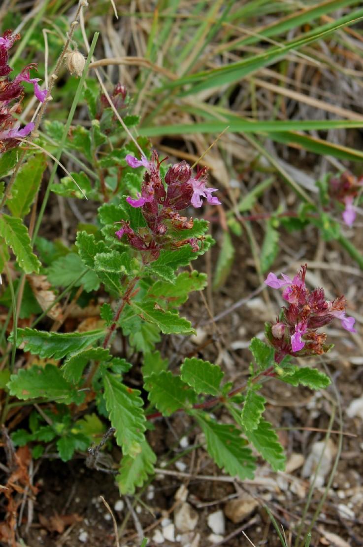 Teucrium chamaedrys subsp. chamaedrys
