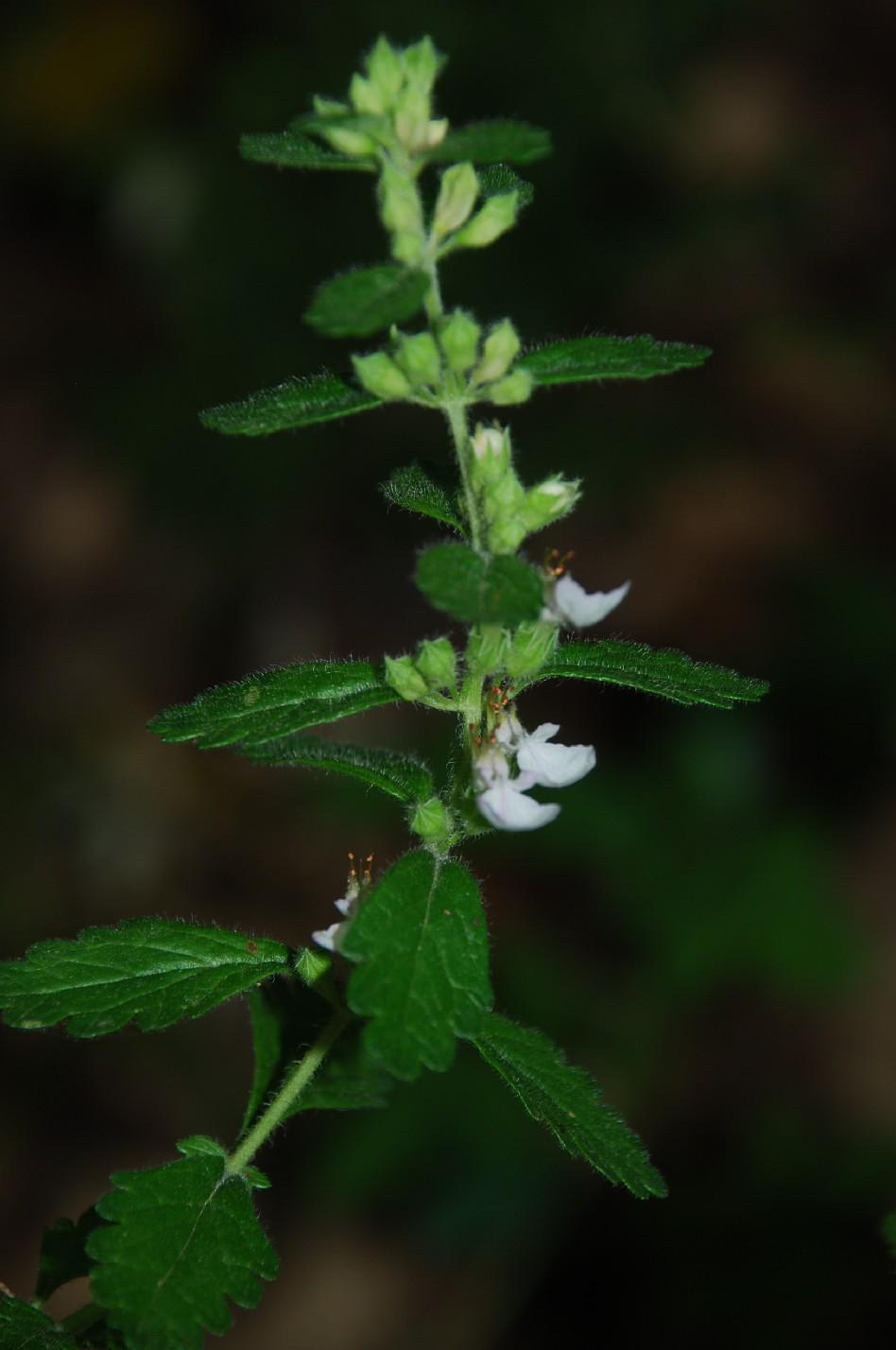 Teucrium chamaedrys subsp. chamaedrys 11