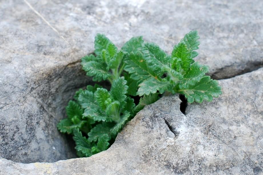 Teucrium chamaedrys subsp. chamaedrys 20