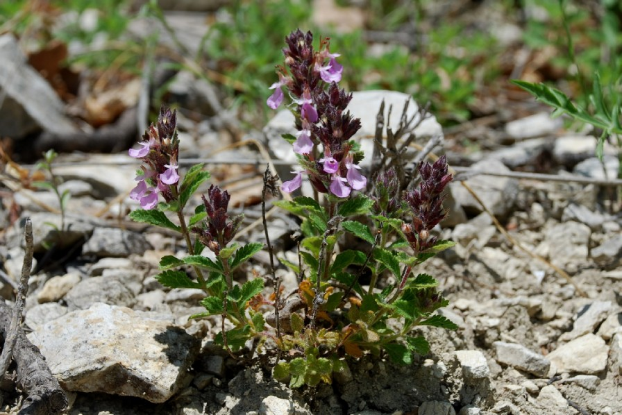 Teucrium chamaedrys subsp. chamaedrys 21