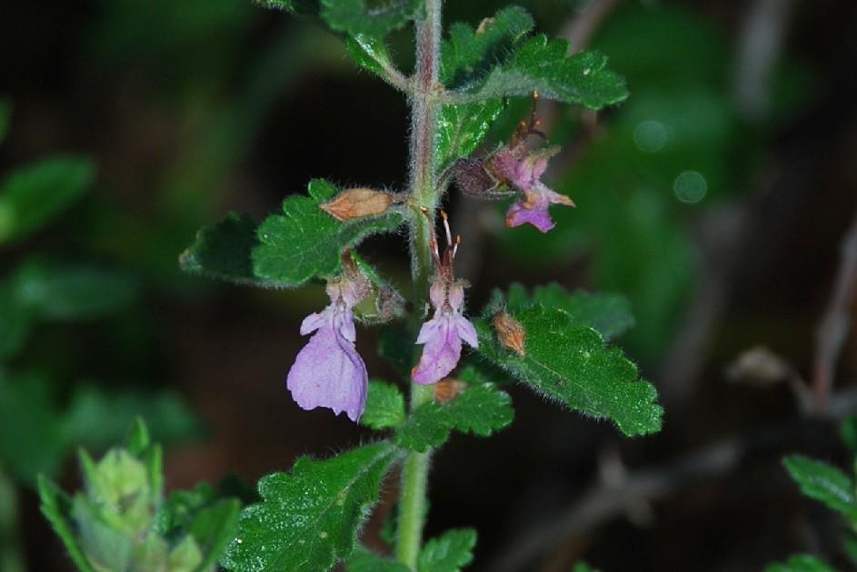 Teucrium chamaedrys subsp. chamaedrys 24