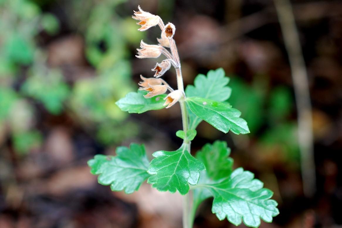 Teucrium chamaedrys subsp. chamaedrys 25