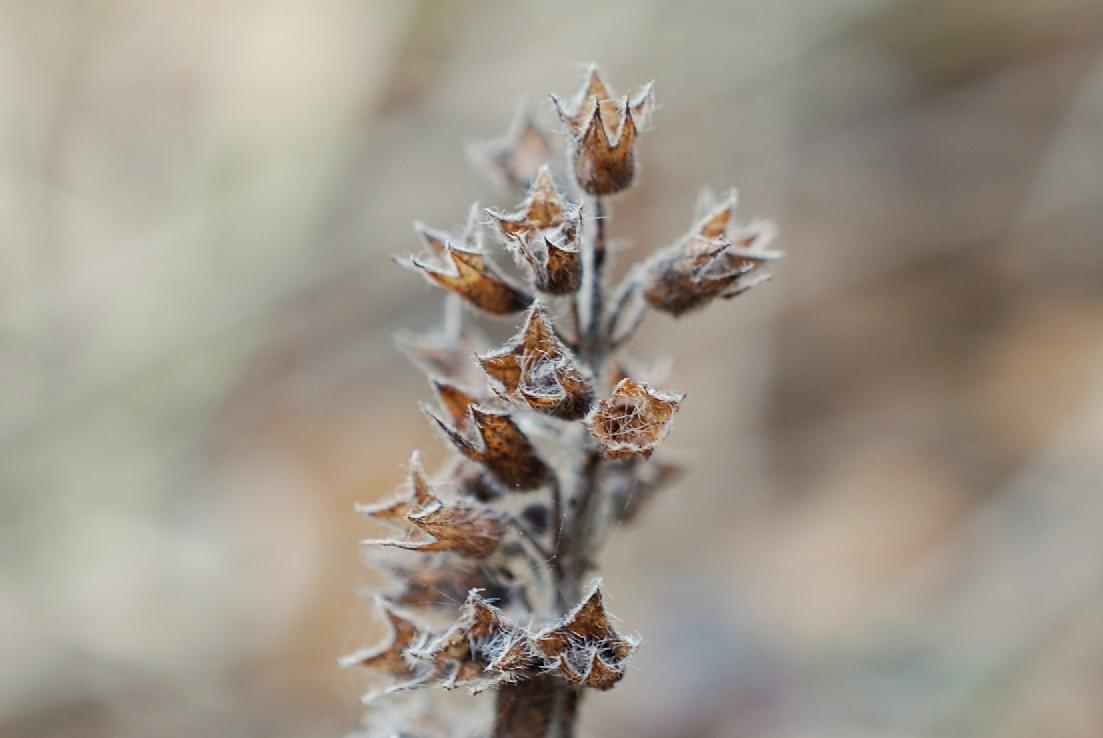Teucrium chamaedrys subsp. chamaedrys 28