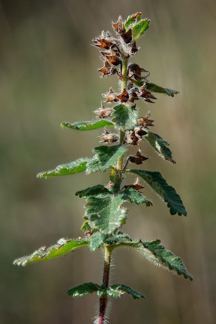 Teucrium chamaedrys subsp. chamaedrys 4