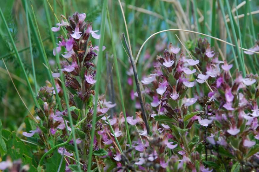 Teucrium chamaedrys subsp. chamaedrys 6