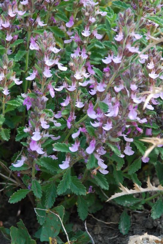 Teucrium chamaedrys subsp. chamaedrys 8