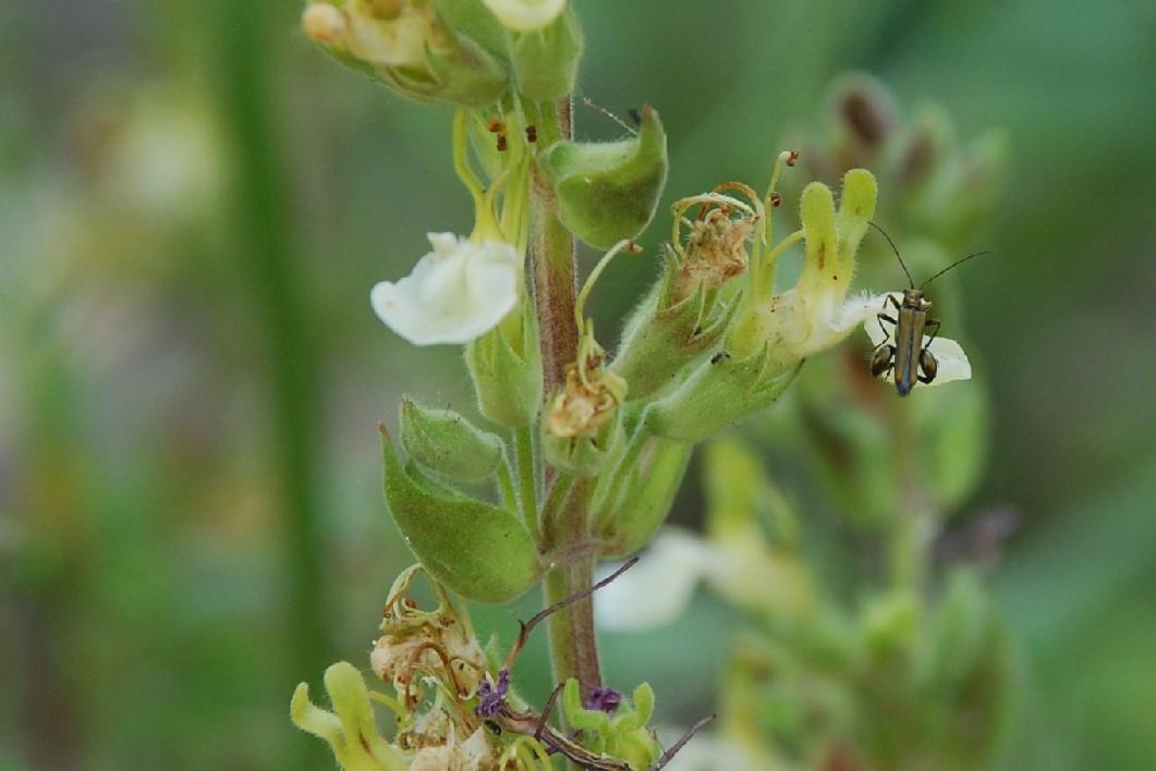 Teucrium flavum subsp. flavum