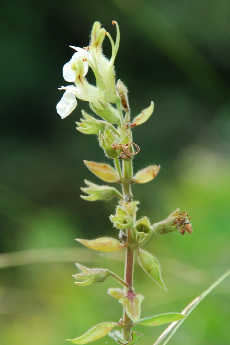Teucrium flavum subsp. flavum 13
