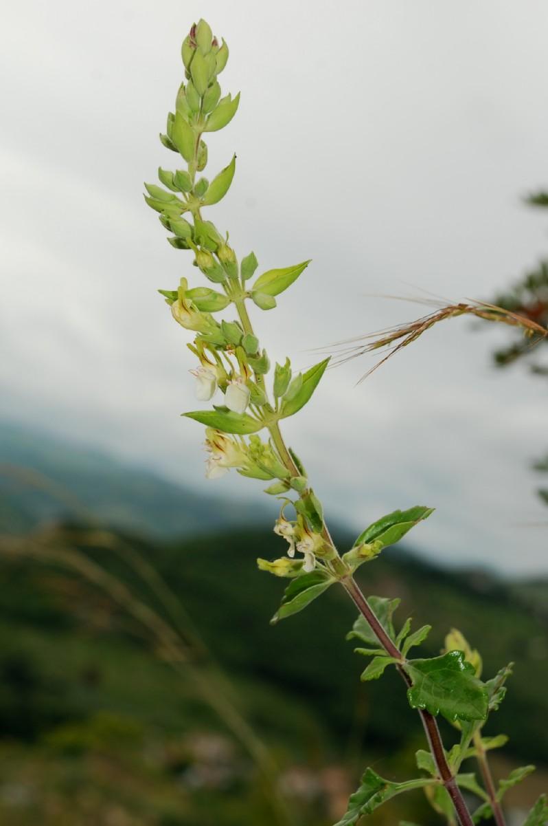 Teucrium flavum subsp. flavum 14