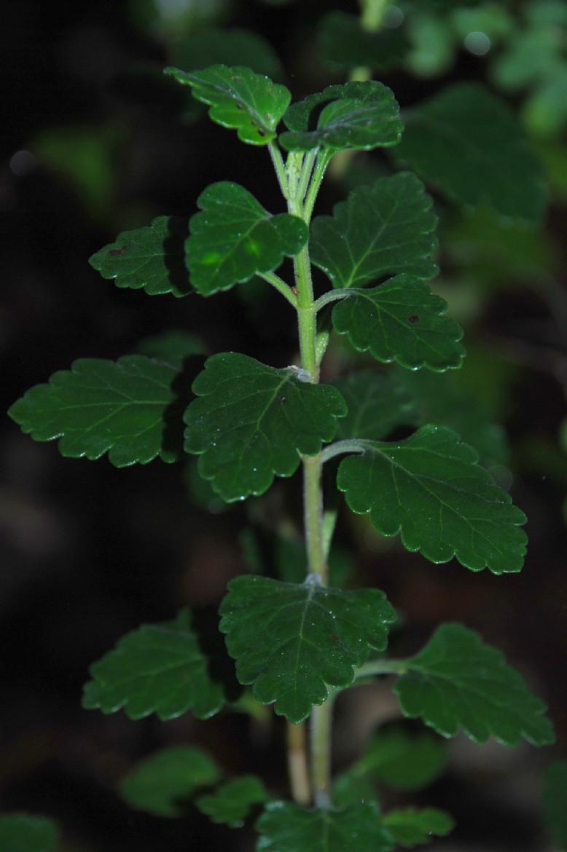 Teucrium flavum subsp. flavum 2