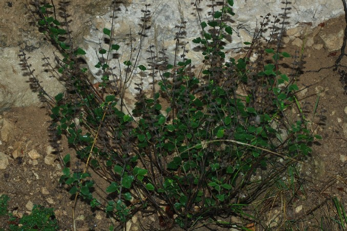 Teucrium flavum subsp. flavum 5