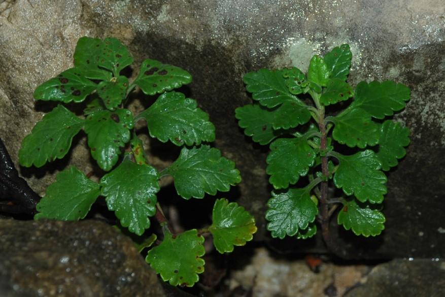Teucrium flavum subsp. flavum 8