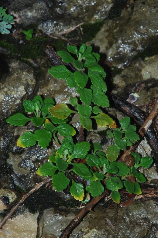 Teucrium flavum subsp. flavum 9