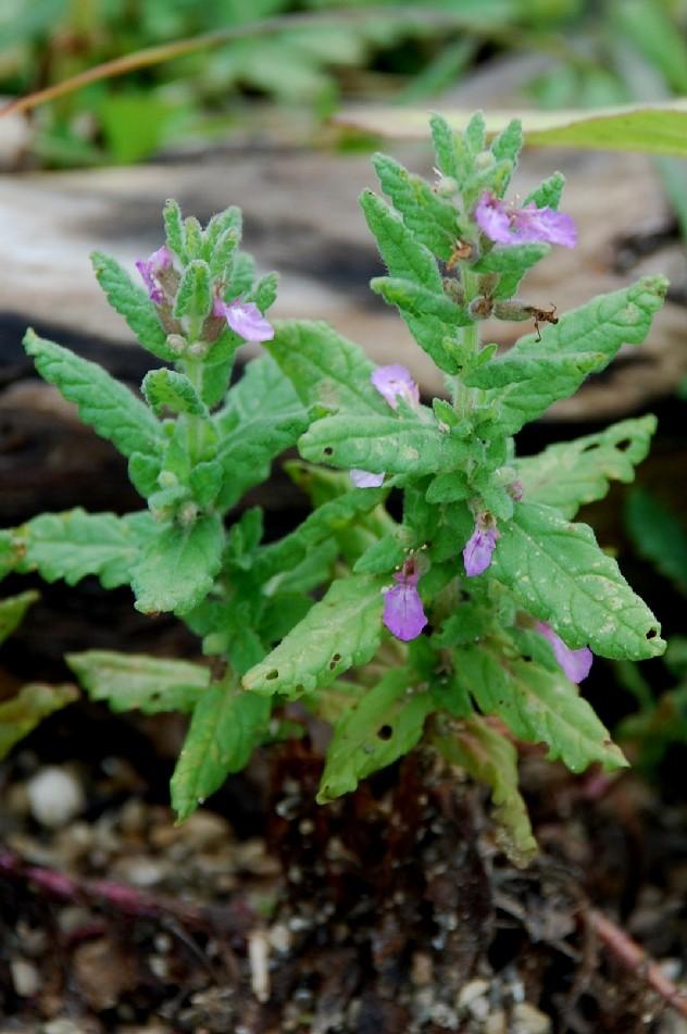 Teucrium scordium subsp. scordium 3