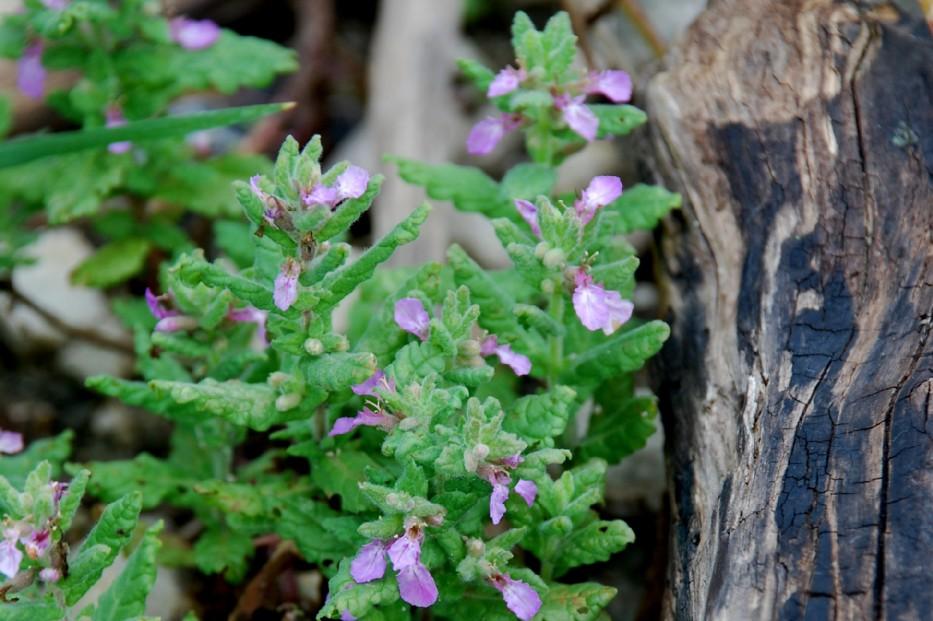Teucrium scordium subsp. scordium 7
