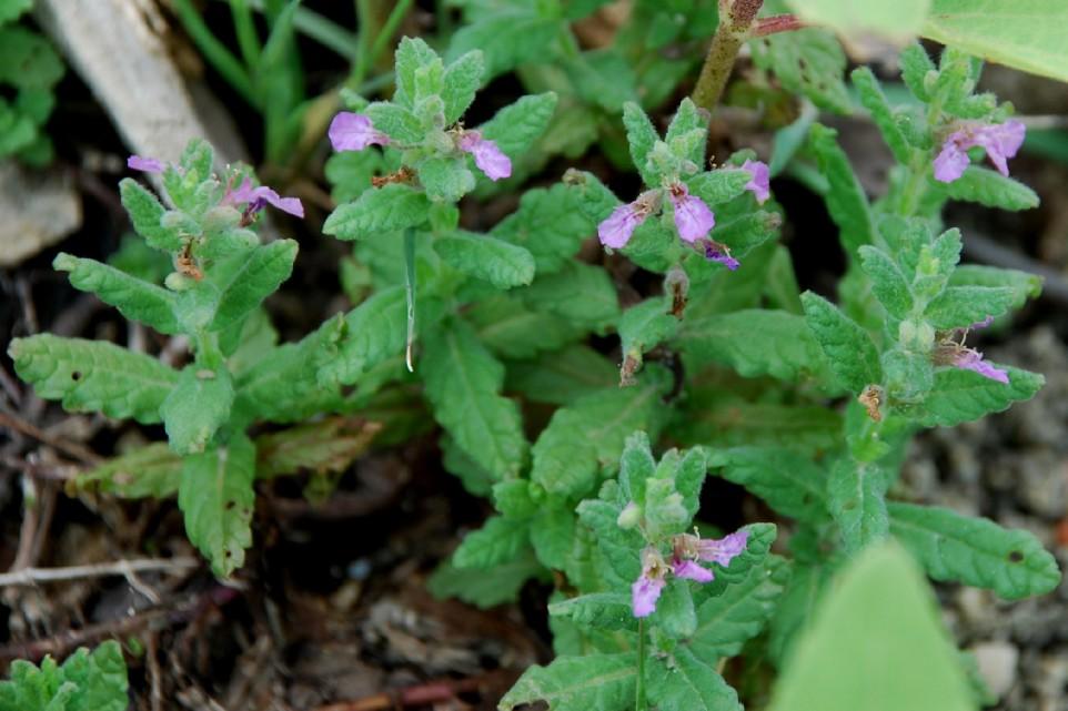 Teucrium scordium subsp. scordium 8