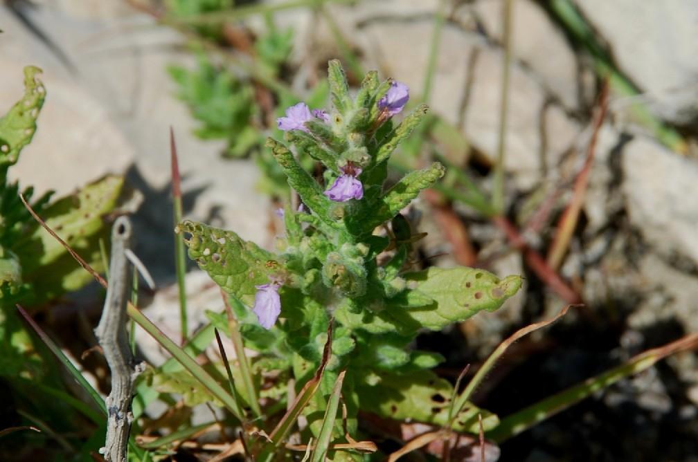 Teucrium scordium subsp. scordium 9