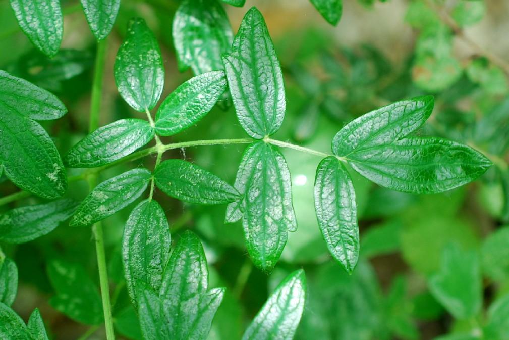 Thalictrum lucidum 31