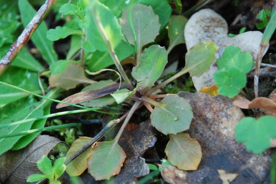 Thlaspi perfoliatum subsp. perfoliatum 10
