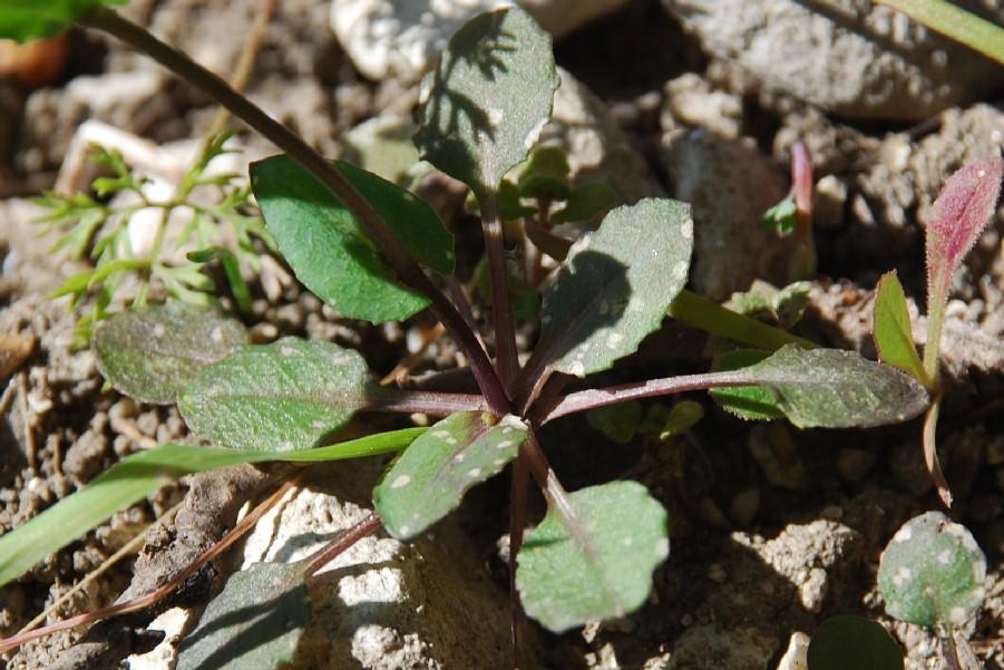 Thlaspi perfoliatum subsp. perfoliatum 14