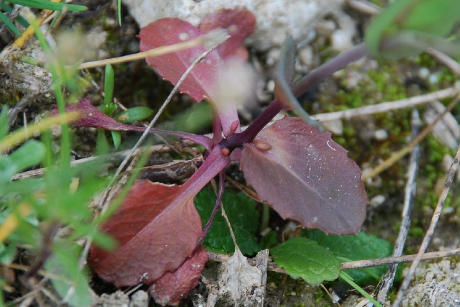 Thlaspi perfoliatum subsp. perfoliatum 16