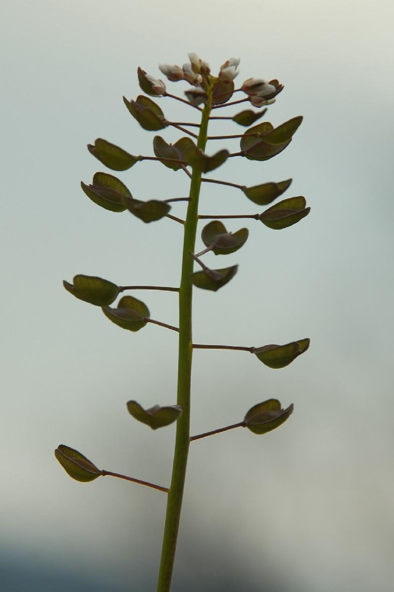 Thlaspi perfoliatum subsp. perfoliatum 17