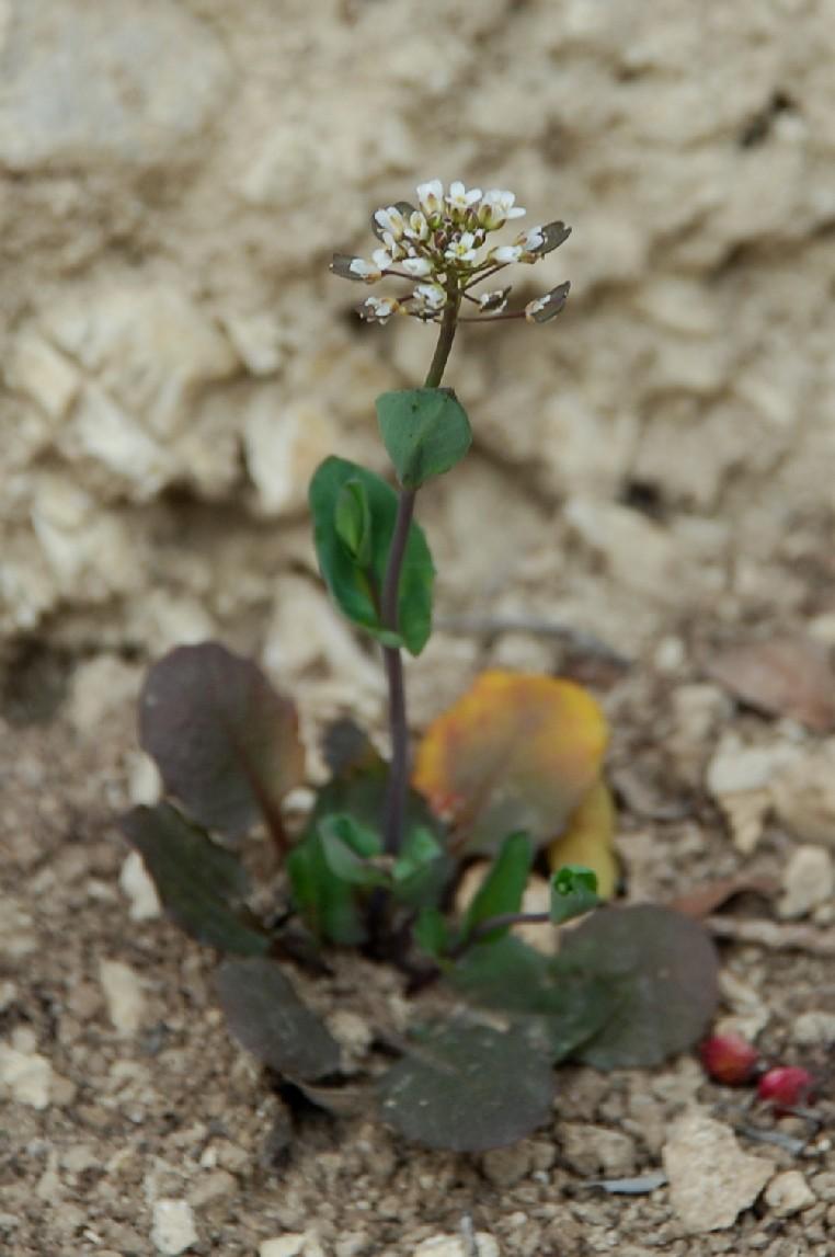 Thlaspi perfoliatum subsp. perfoliatum 18