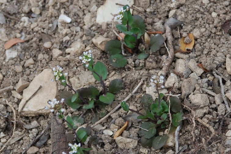 Thlaspi perfoliatum subsp. perfoliatum 19